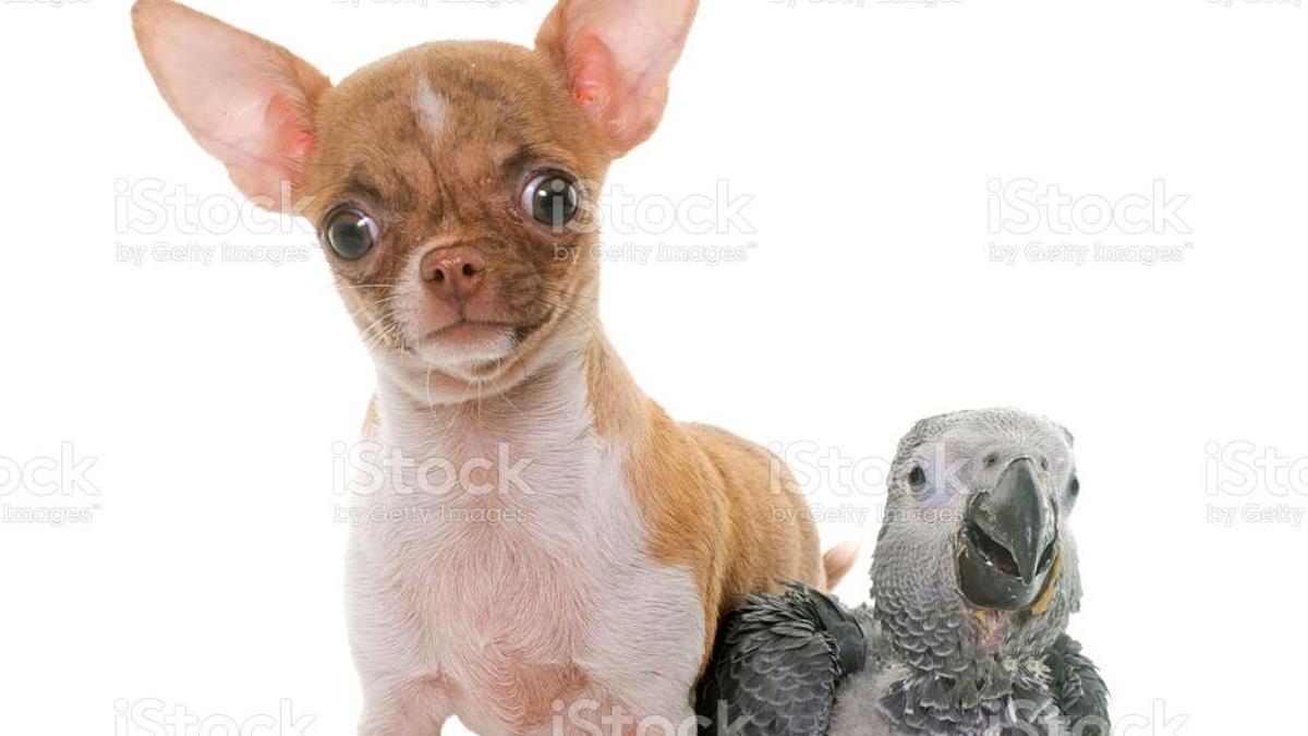 El loro y el chihuahua