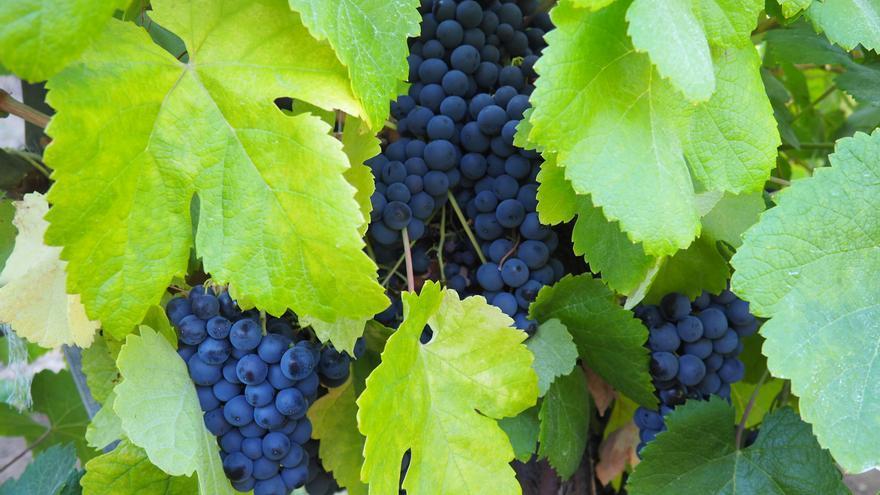 Uva de la variedad listán negro.