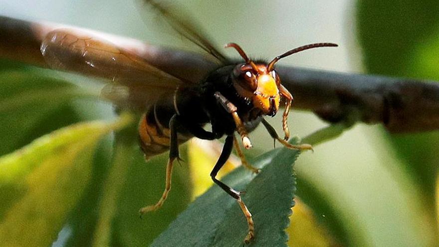 Muere un hombre por picaduras de avispas asiáticas en O Porriño (Pontevedra)