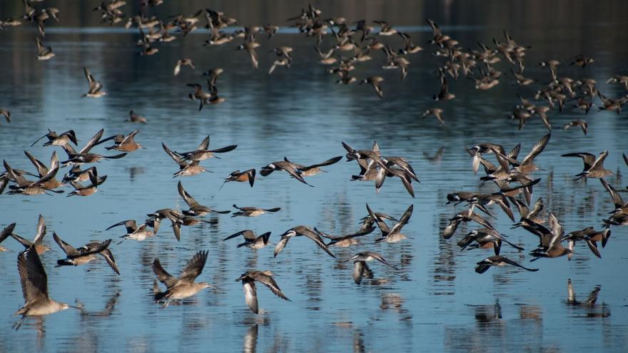 El estudio se ha centrado en la preparación fisiológica del ave migratoria aguja café antes de emprender su viaje