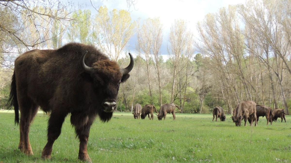 Uno de los bisontes del programa nacional