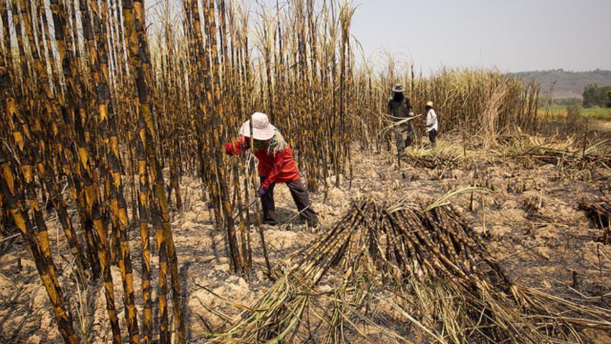 Hombres y mujeres trabajando en campos de caña de azúcar en Kalasin (Tailandia). /Fotografía: Laura Villadiego