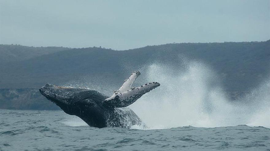 El canto y las heces de las ballenas desvelarán más secretos en la Antártida