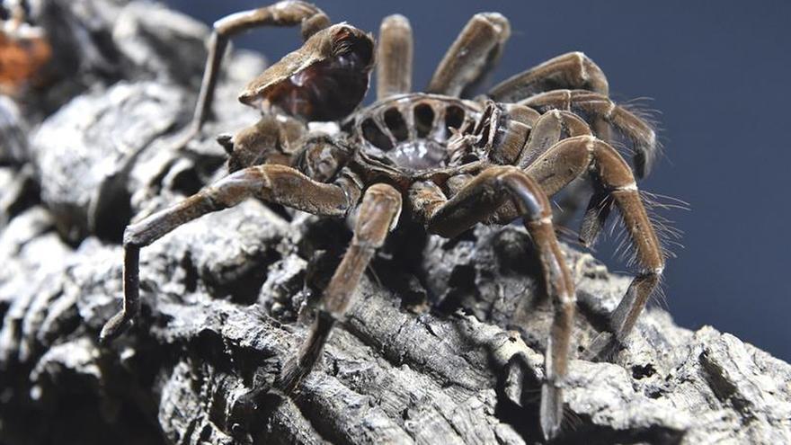 Ponen nombres de actores y surfistas a nuevas arañas acuáticas en Australia