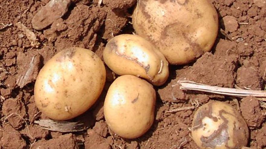 Preocupación entre los productores de papas en Tenerife por la polilla guatemalteca, que temen pérdidas del 50% en las cosechas