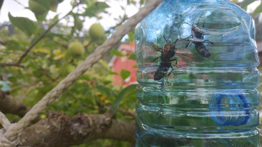 Avispas asiáticas en una trampa casera instalada en un árbol frutal en una localidad gallega