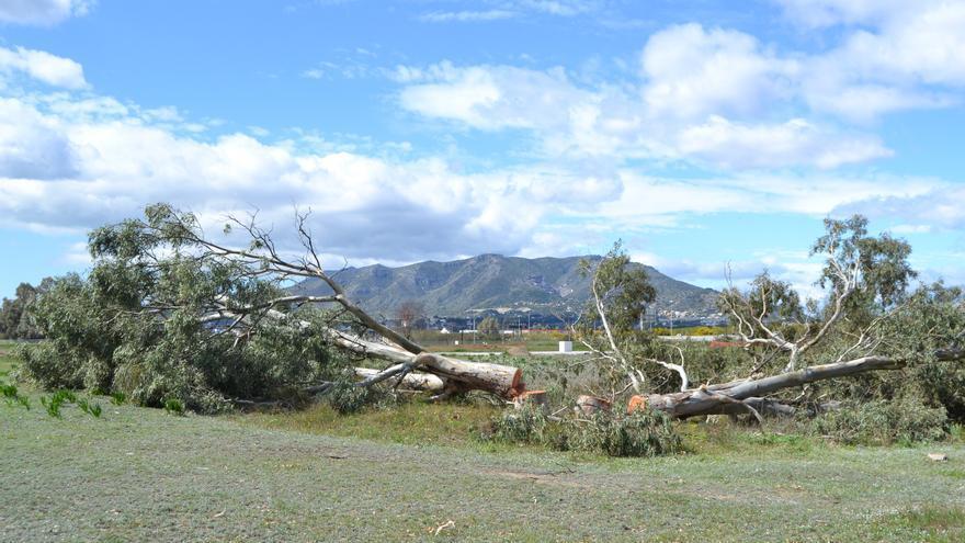 Un árbol talado en Arraijanal   N.C.