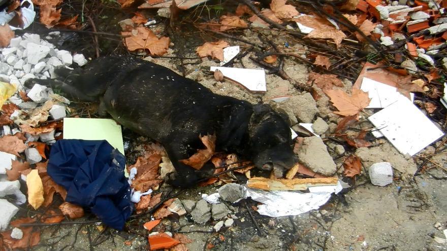 Imagen del pit-bull hallado muerto en el barrio de Moratalaz / SPAP