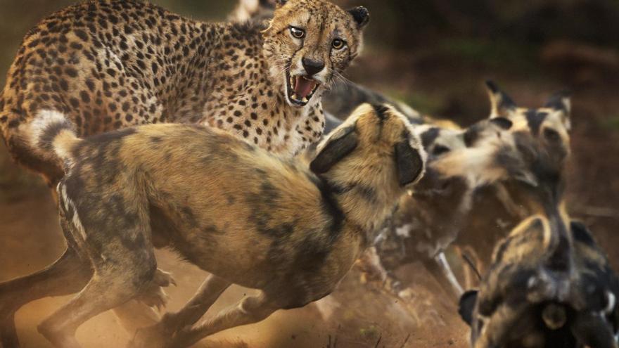 'El gran felino y la jauría'. Categoría: Comportamiento de mamíferos