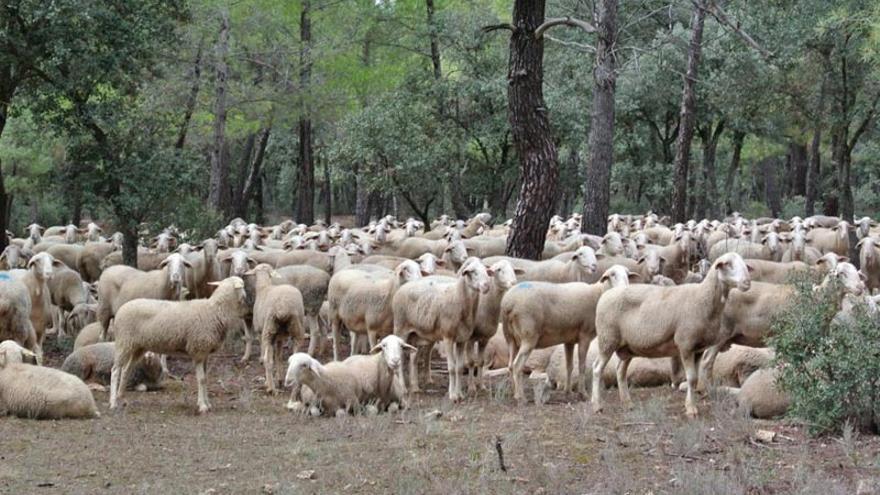 Esta enfermedad afecta a ovino y bovino, entre otros animales.
