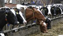 Cuadra con cabezas de bovino en Canarias.