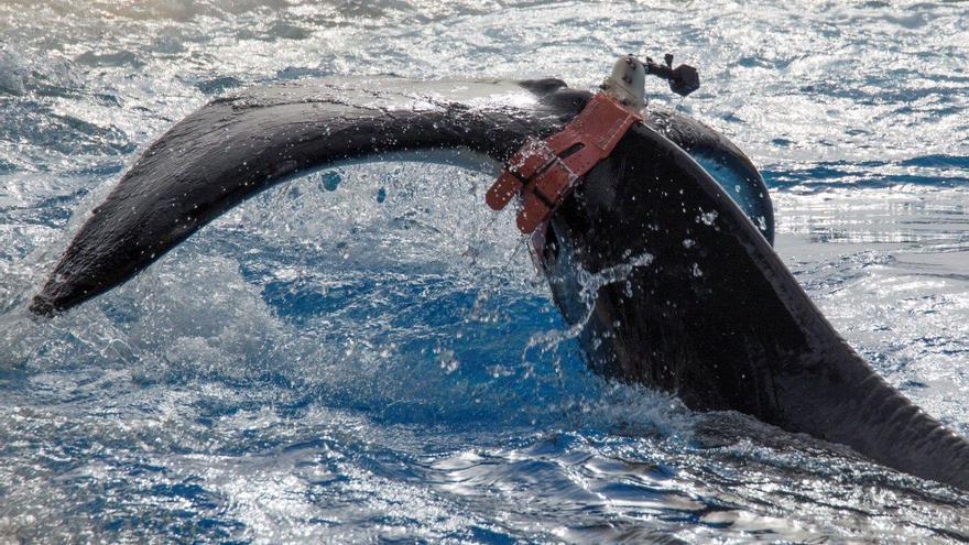 Esta técnica se pretende emplear con ballenas Yubarta en el mar.