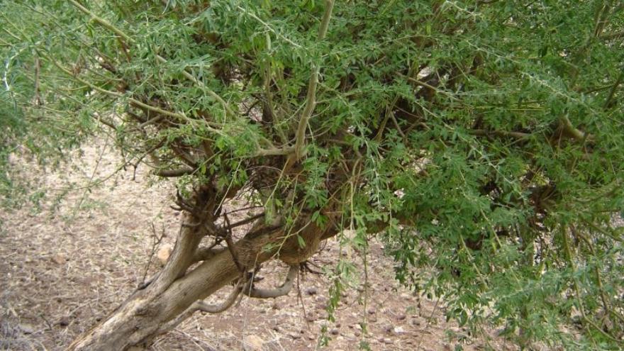 En la imagen, una planta de tagasaste. Fotografía tomada de www.infojardin.com.