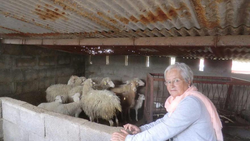 María Victoria Hernández en un establo de ovejas de raza palmera.