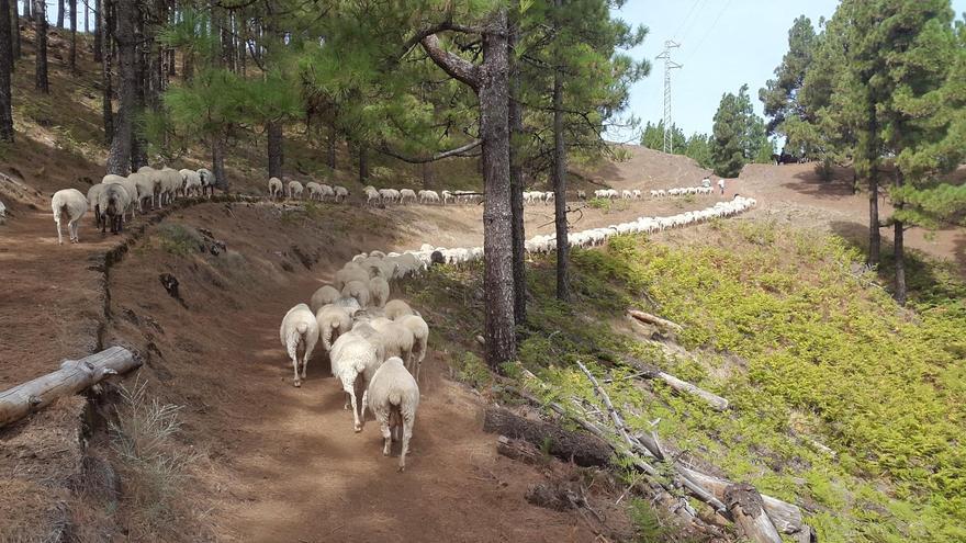 Imagen del Facebook: Pastoreo para la prevención de incendios forestales en Gran Canaria.