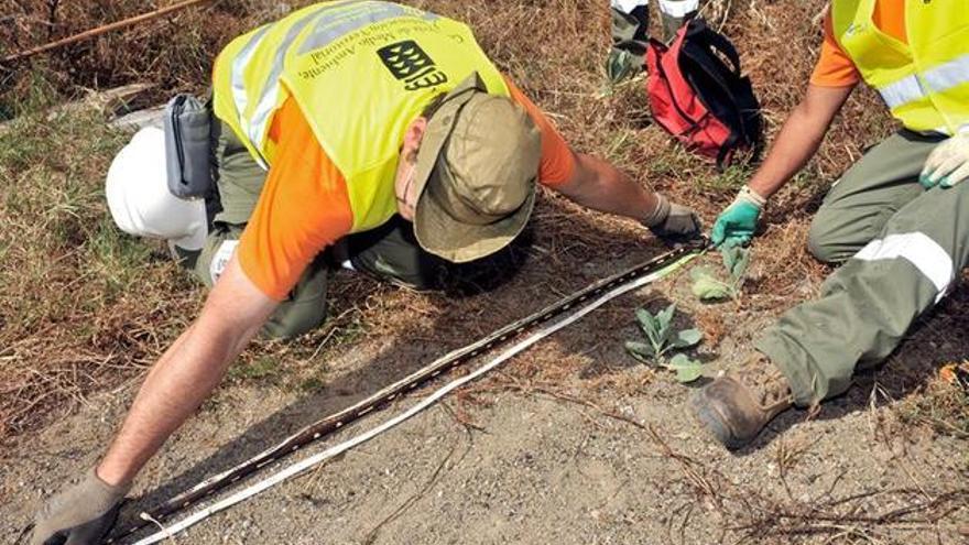 Un operario del Gobierno de Canarias muestra la longitud de una culebra de California capturada en Canarias.