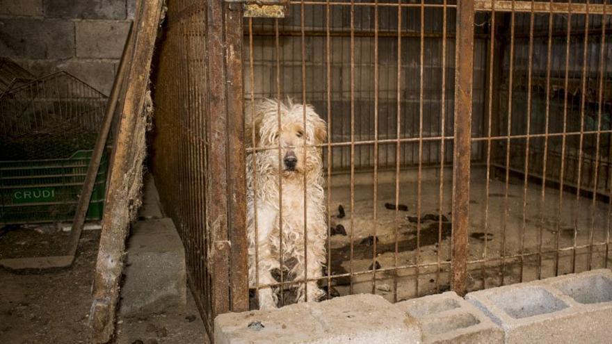 Una de las perras, de raza caniche, en el criadero investigado.