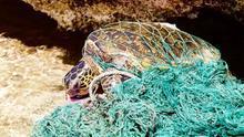 Tortuga enredada en artes de pesca.