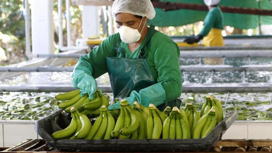 IICA, Bayer e industria frutícola buscan combatir la plaga del banano