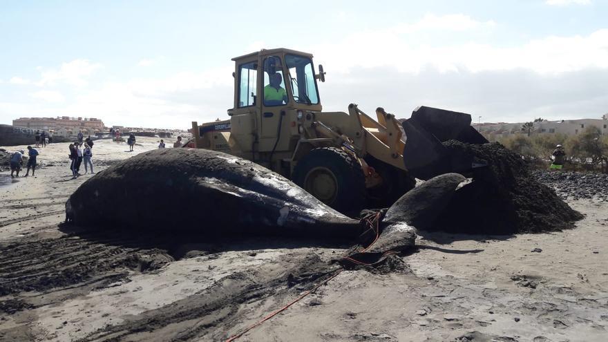 La pala mueve el cadáver de la ballena, que varó a primeras horas de la tarde en una playa de El Médano