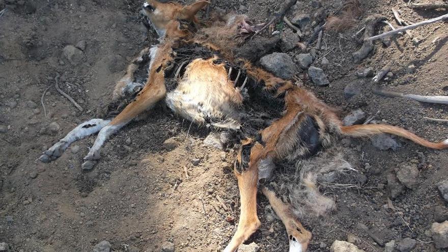 En la imagen, los restos del perro hallados en la tarde de este jueves en Mazo. Foto cedida por la Federación Insular de Caza.
