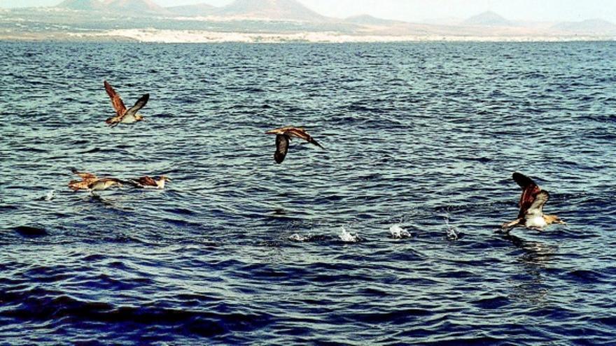 Canarias es uno de los enclaves de cría de pardelas cenicienta más importante del mundo. EFE