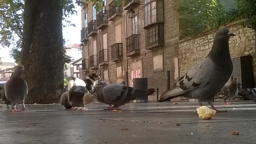 Palomas urbanas. © APDA