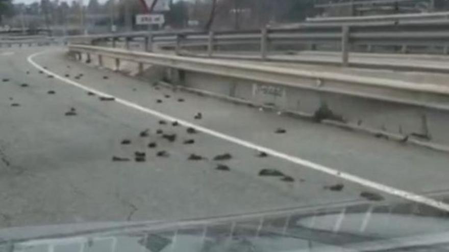 Imágenes de los pájaros muertos en una autovía cercana a Tarragona