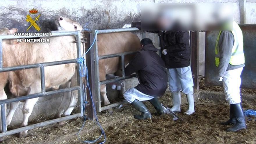 Un total de 14 detenidos en Zaragoza, Huesca y Lleida por engorde ilegal de ganado bovino
