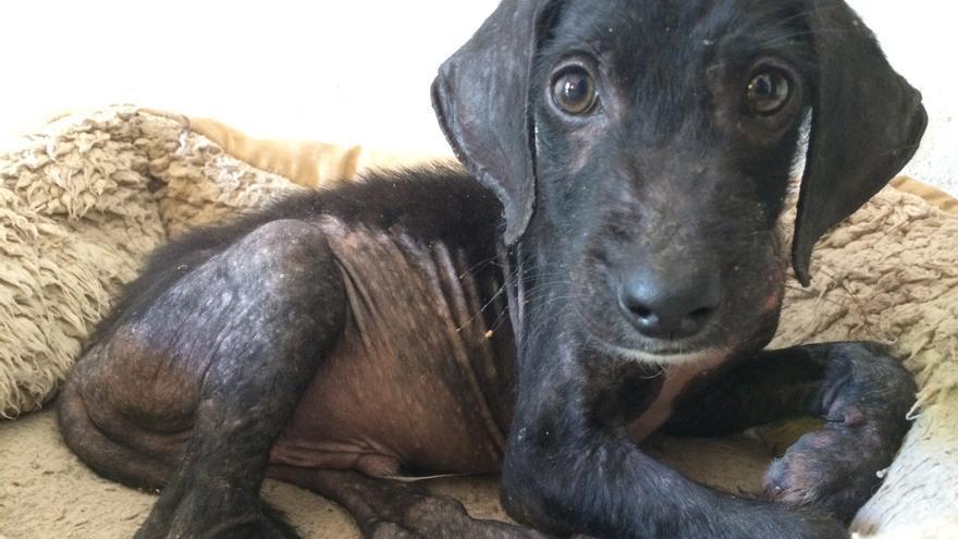 Bicho, cachorro de tres meses maltratado por un grupo de niños en un suburbio de Cruz del Eje (Argentina)