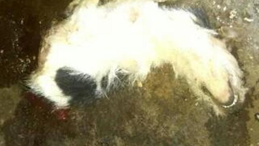 En la imagen, el cachorro sin la parte trasera de su cuerpo.
