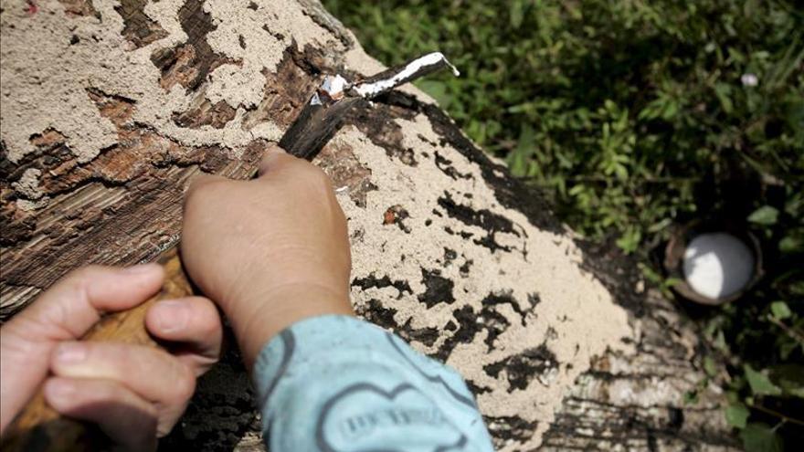 Guatemala espera producir 120.000 toneladas anuales de caucho en 2020