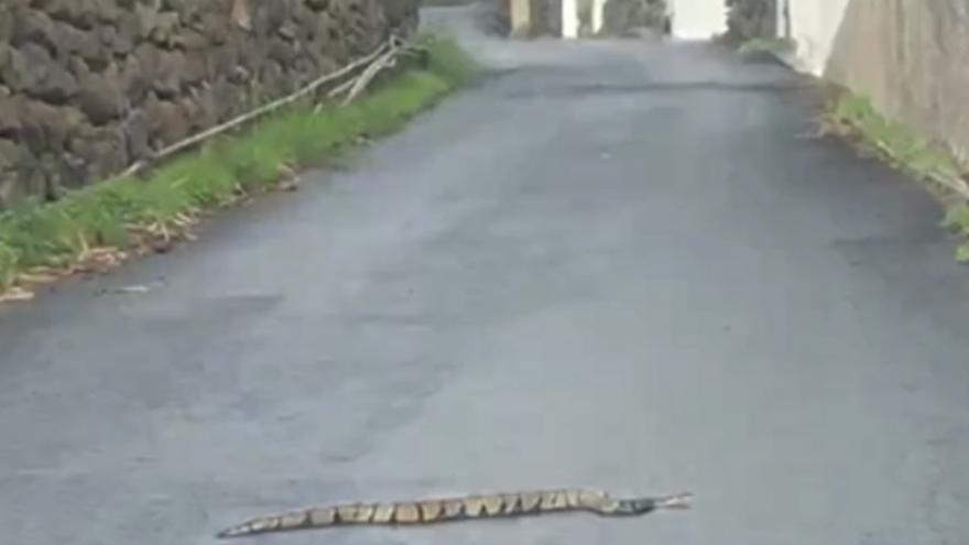 En la imagen, la serpiente 'pitón real', vista en El Paso.