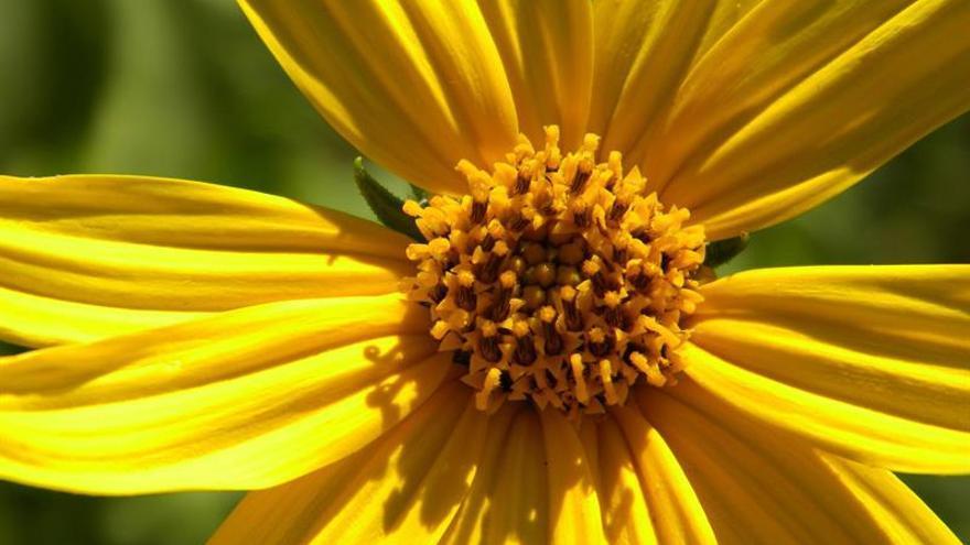 """Topinambur, la planta """"milagrosa"""" rescatada del olvido que florece en Chile"""