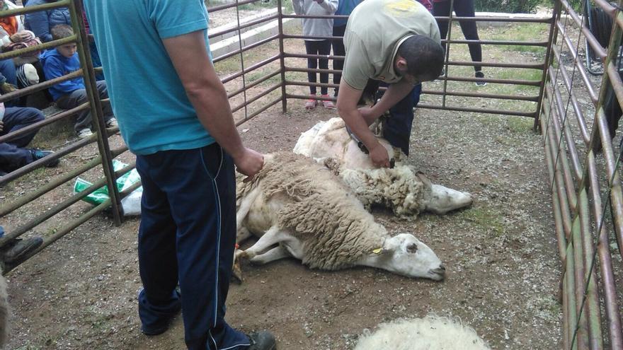 Esquileo de ovejas, una práctica que tiende a desaparecer