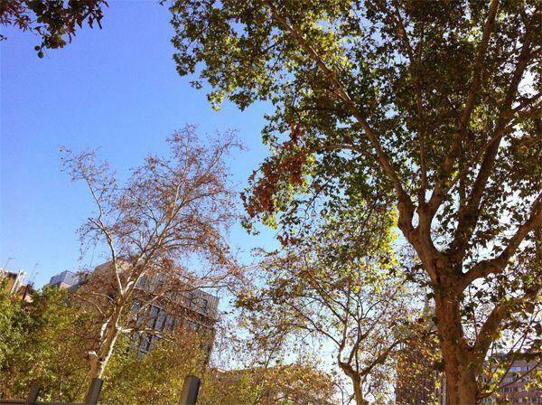 Uno de los árboles afectados por las obras de la Plaza de la Villa de París | Fotografía: AVChueca