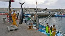 Descarga de atún rojo en el puerto de Mogán