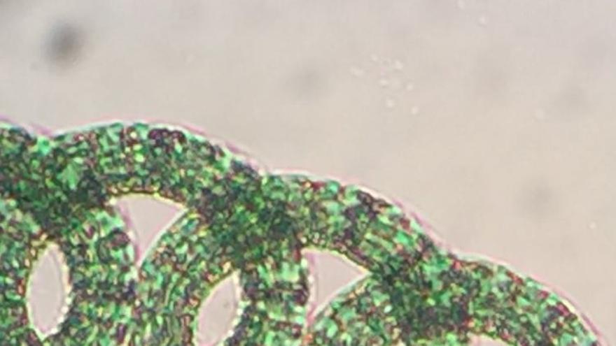 El mercado de microalgas produce alrededor de 10.000 toneladas al año de materia seca.
