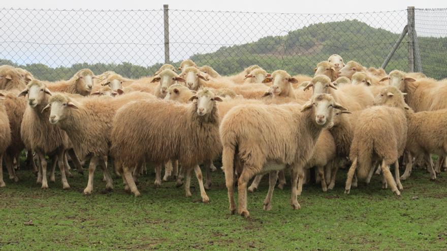 En la imagen, un rebaño de ganado ovino de La Palma.