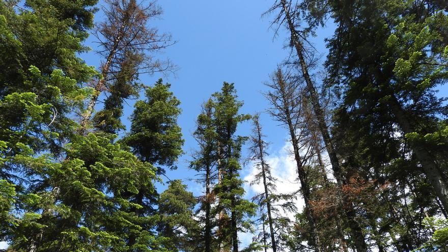 Se realizarán tratamientos silvícolas para experimentar medidas de adaptación de los bosques al cambio climático.