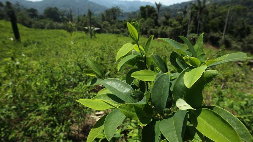 Perú supera la meta de erradicación de hoja de coca ilegal para este año