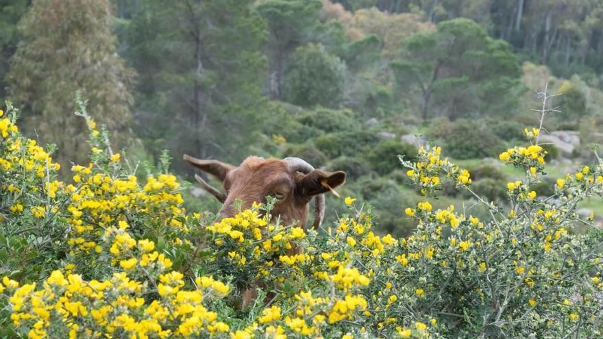 Una cabra ramoneando en un pinar con alto riesgo de incendio