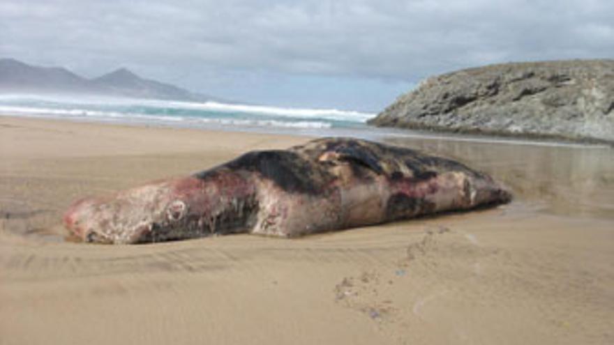 Cachalote muerto aparecido este viernes en Fuerteventura.