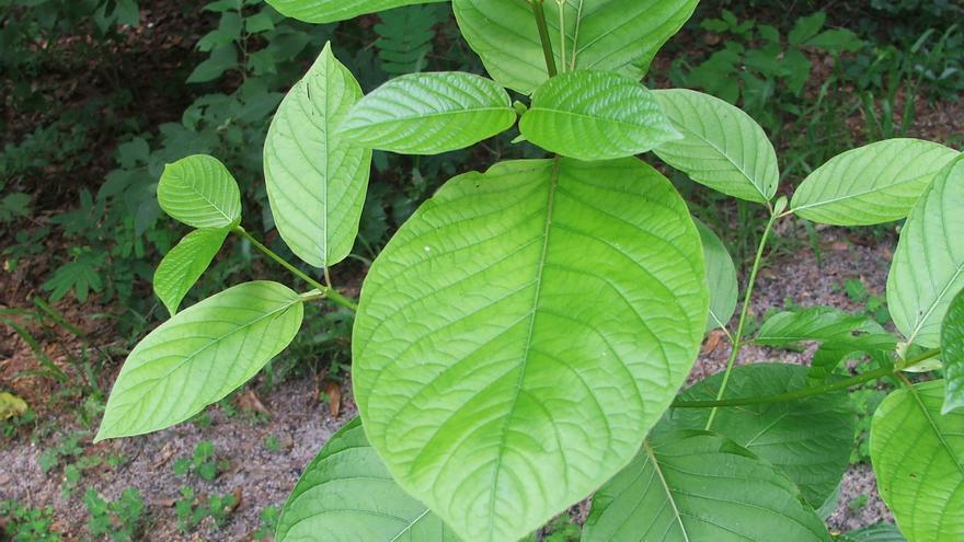 Un ejemplar de kratom (Mitragyna speciosa), también conocida como kakuam, ithang o thom