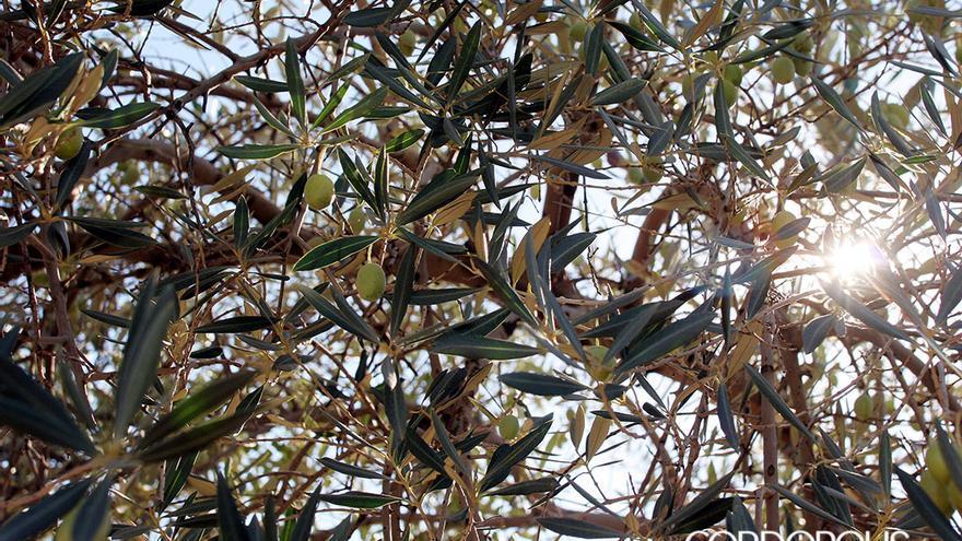 Aceitunas en un olivar cordobés | MADERO CUBERO