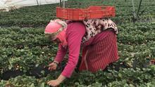 Marruecos investiga brotes masivos en fincas de recogida de fresa que son propiedad de empresas españolas