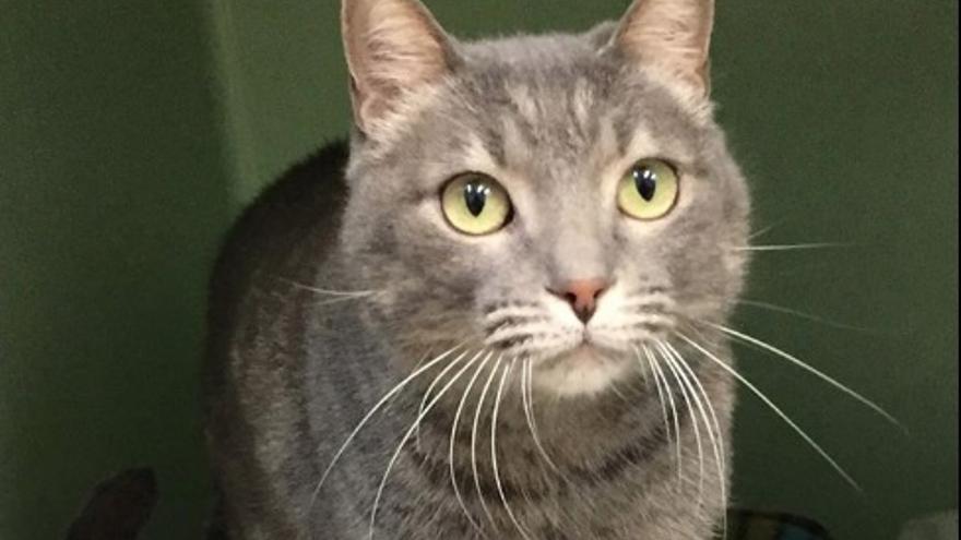 Blas, uno de los gatos que espera un hogar en el CAAC