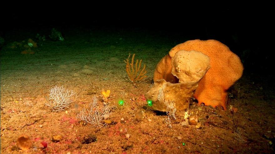 Descubiertas tres especies de esponjas en los montes submarinos de Mallorca