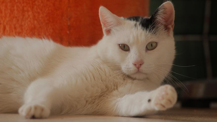 Gato acogido en el centro Montsegat. Foto: Agustí Nubiola