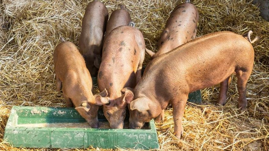 Seúl refuerza la cuarentena para tratar de controlar la fiebre porcina africana. EPA/JULIEN WARNAND/Archivo